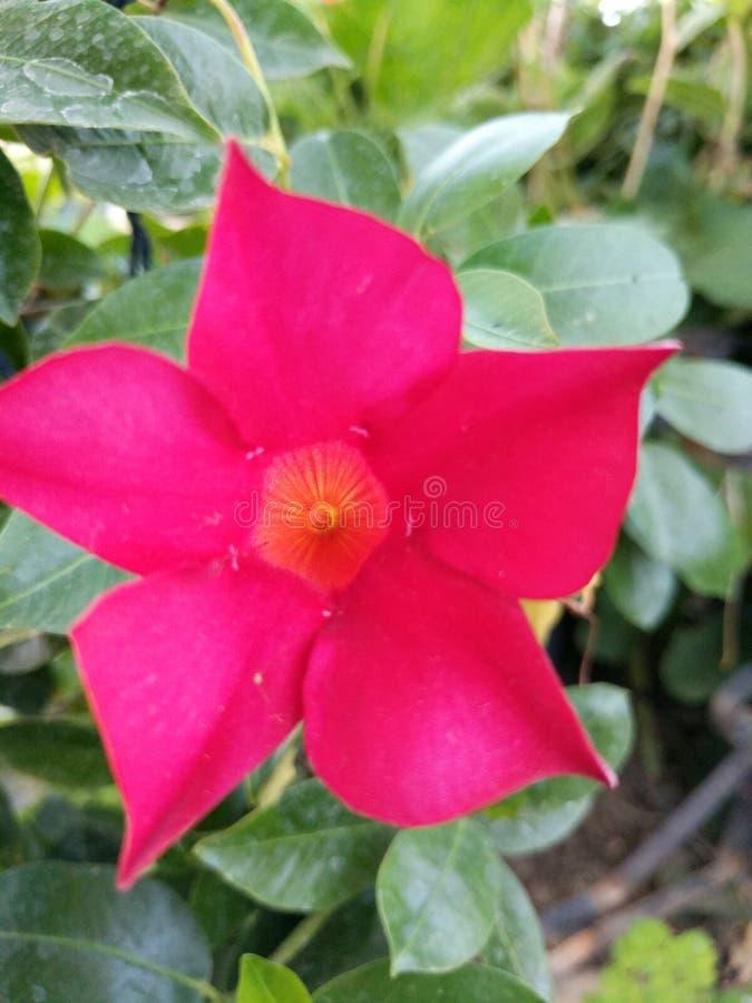 Wow-Rotblume stockbilder