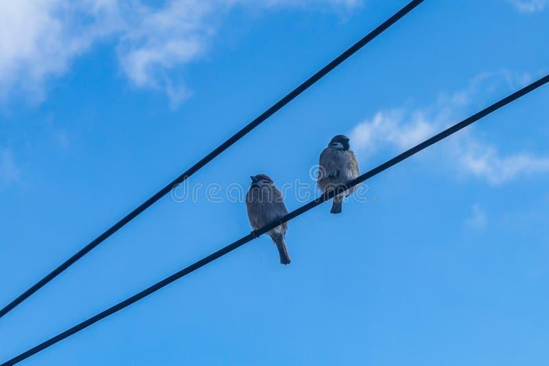 Wróbli ptasi obsiadanie na elektrycznych drutach mały wróbel na drucie przeciw niebieskiemu niebu, zdjęcie stock