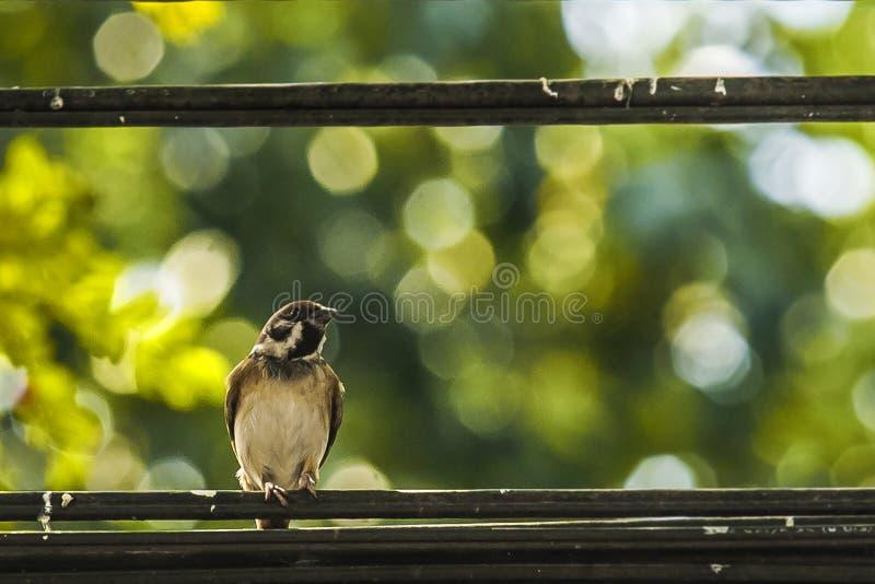 Wróbel gdy ptaki wracają Przechodnia domesticus set uwalnia zdjęcie stock