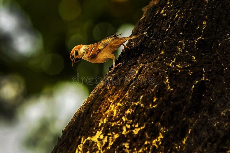 Wróbel gdy ptaki wracają Przechodnia domesticus set uwalnia zdjęcie royalty free