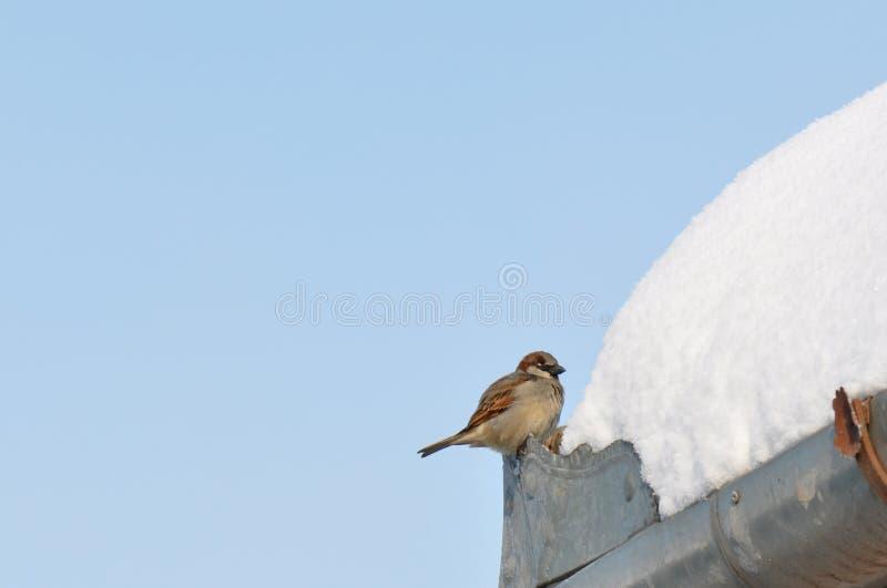 Wróbel i śnieg zdjęcie royalty free