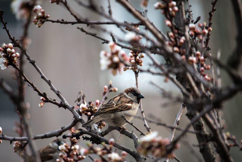 Wróbel na morelowym drzewie fotografia stock