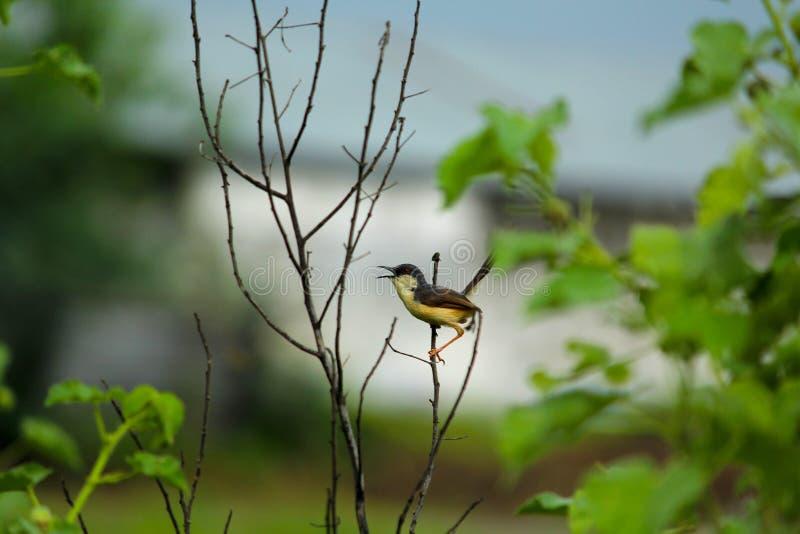 Wróbel na suchej roślinie zdjęcia stock