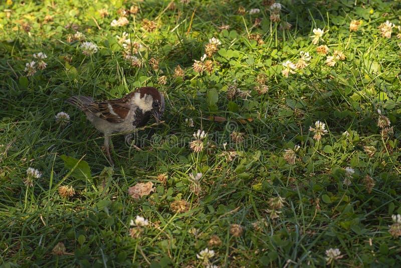 Wróbel siedzi na trawie zdjęcia royalty free