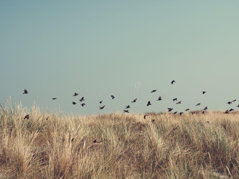 Wróble nad wydmową trawą, morze bałtyckie obraz royalty free