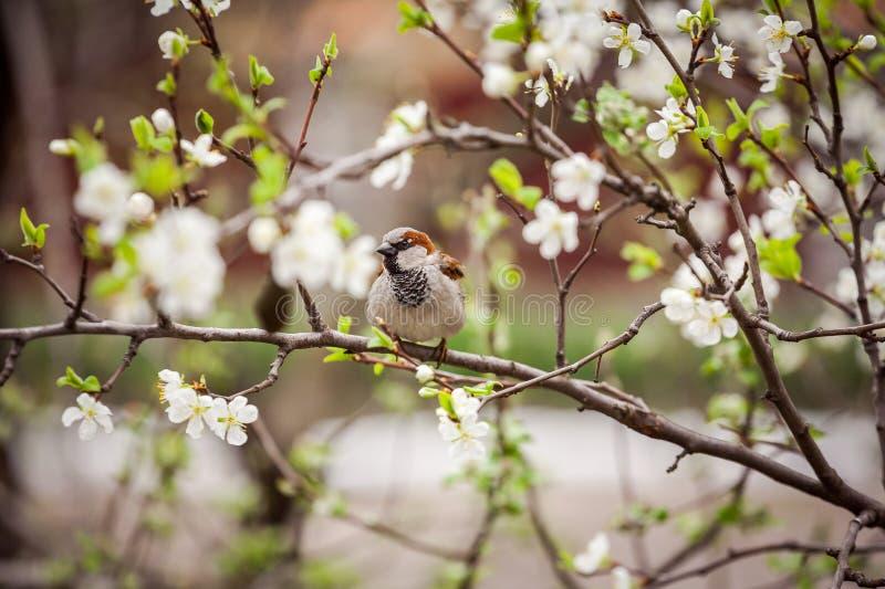 Wróbli obsiadanie na kwiatonośnym drzewie, wróbel w wiośnie Gard zdjęcie royalty free