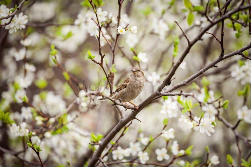 Wróbli obsiadanie na kwiatonośnym drzewie, wróbel w wiośnie Gard zdjęcia royalty free