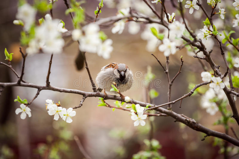 Wróbli obsiadanie na kwiatonośnym drzewie, wróbel w wiośnie Gard obrazy stock