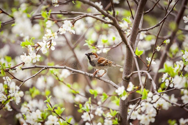 Wróbli obsiadanie na kwiatonośnym drzewie, wróbel w wiośnie Gard obraz stock