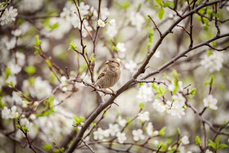Wróbli obsiadanie na kwiatonośnym drzewie, wróbel w wiośnie Gard obraz royalty free