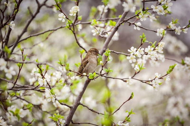 Wróbli obsiadanie na kwiatonośnym drzewie, wróbel w wiośnie Gard obrazy royalty free