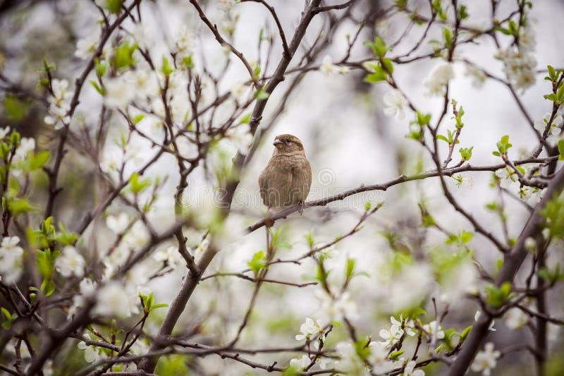 Wróbli obsiadanie na kwiatonośnym drzewie, wróbel w wiośnie Gard zdjęcie stock