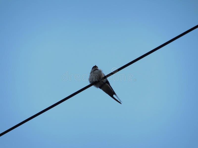 Wróbli obsiadanie na zasięrzutnym drutu dna profilu przeciw niebieskiemu niebu na jutrzenkowym ranku zdjęcia stock