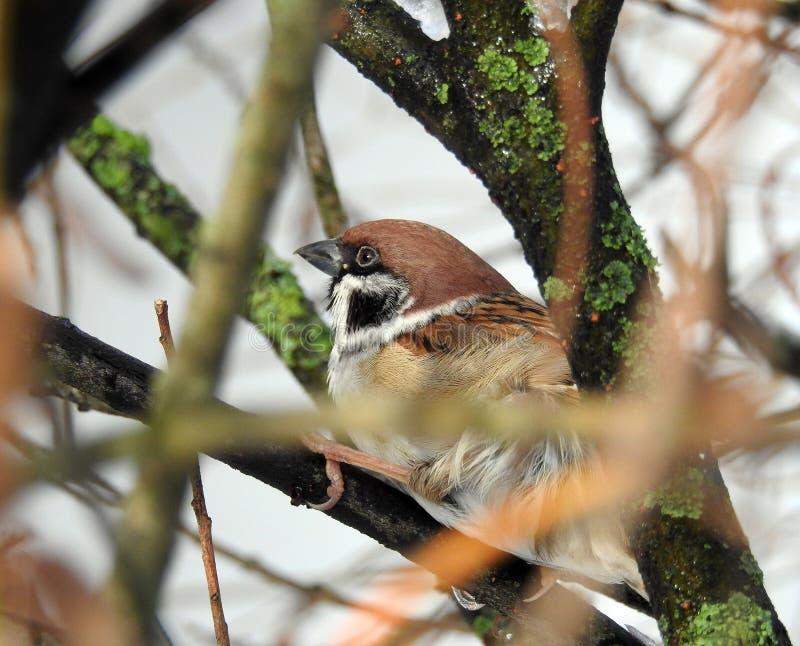 Wróbli ptak na gałąź, Lithuania obrazy stock