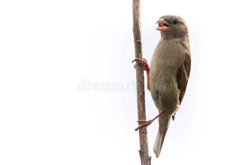 Wróbli ptak odizolowywający Wróbli żeński ptaka śpiewającego Passeridae, przechodnia domesticus tyczenie na suchym słonecznikowym zdjęcia royalty free