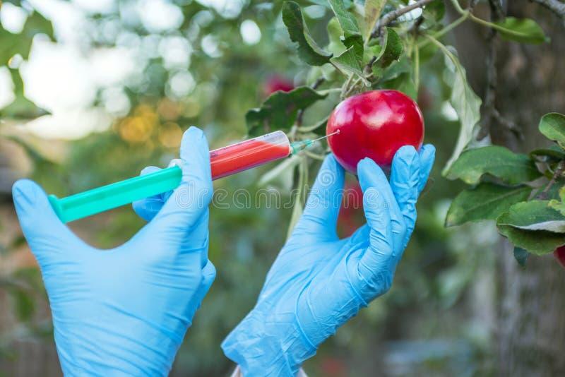 Wręcza mieniu jabłczaną owoc z strzykawką z chemicznymi użyźniaczami czerwony colour w jabłku GMO i pestycyd modyfikacja naukowie obraz royalty free
