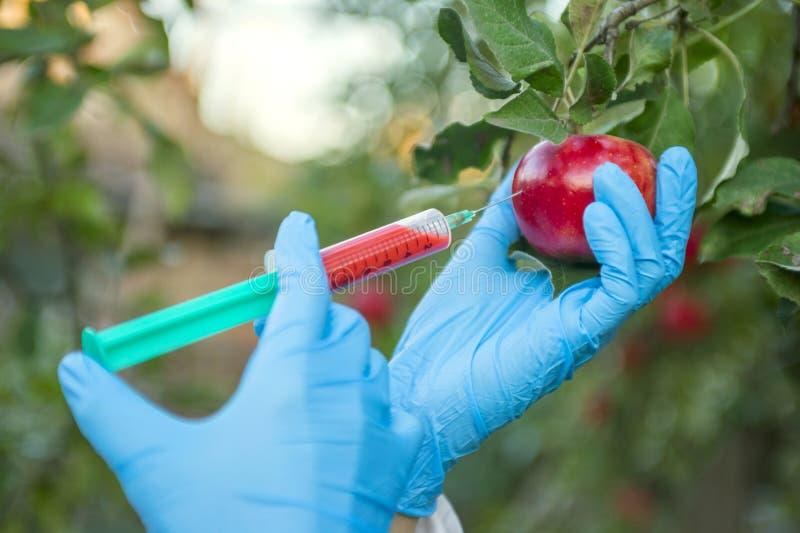 Wręcza mieniu jabłczaną owoc z strzykawką z chemicznymi użyźniaczami czerwony colour w jabłku GMO i pestycyd modyfikacja naukowie obrazy stock