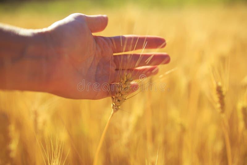 Wręcza muskać pięknych Złotych ucho pszeniczny dojrzały na ciepłym lato słonecznym dniu na rolnym polu obrazy stock