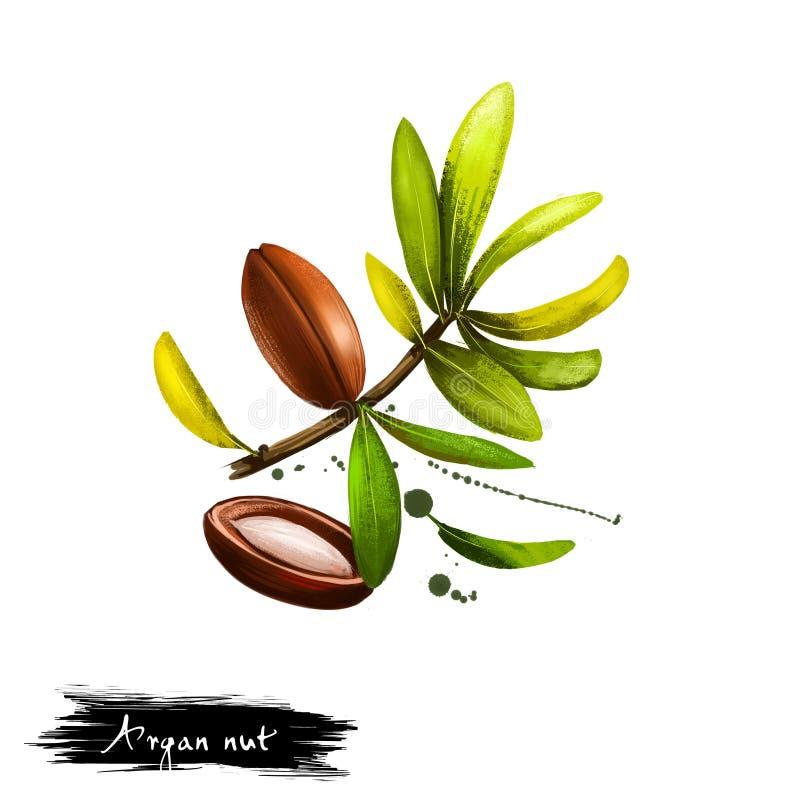 Wręcza patroszoną ilustrację Argan dokrętka lub Argania spinosa odizolowywający na białym tle Organicznie zdrowy jedzenie Cyfrowe zdjęcie stock