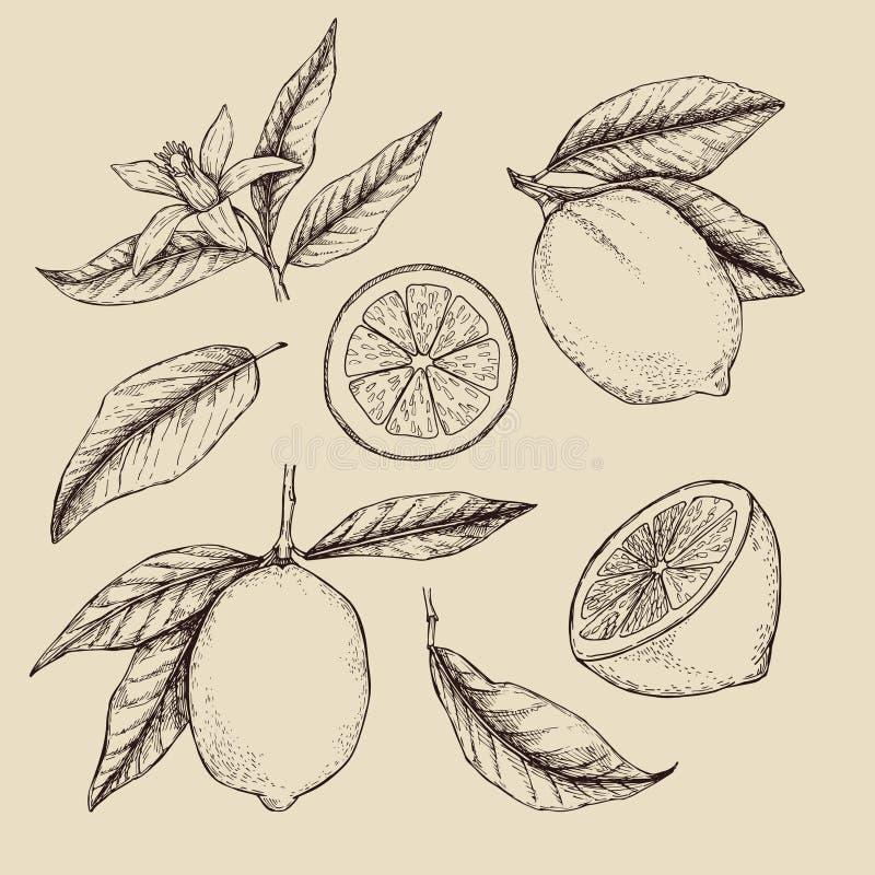 Wręcza patroszoną wektorową ilustrację - kolekcje cytryny ilustracji