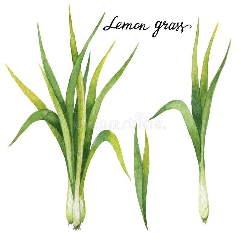 Wręcza patroszonej akwareli botaniczną ilustrację cytryny trawa ilustracji