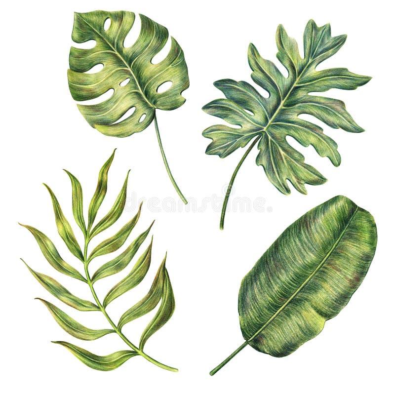 Wręcza patroszonych monstera, banana i areki palmowych liście, royalty ilustracja