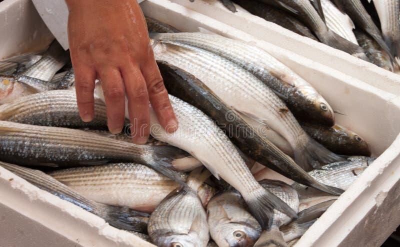 Wręcza podnosić up ryba na lokalnym rybim rynku zdjęcia stock