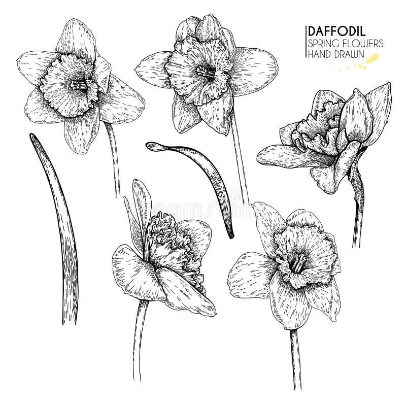 Wręcza rysującego set daffodil lub narcyza kwiaty Wektor grawerująca sztuka Wiosna ogródu okwitnięcia Monocrome nakreślenie Dobry ilustracja wektor