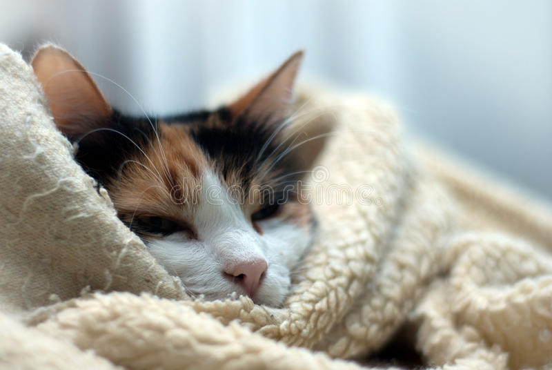 Wrapped up cat. Sleepy cat wrapped up in her favourite blanket stock photos