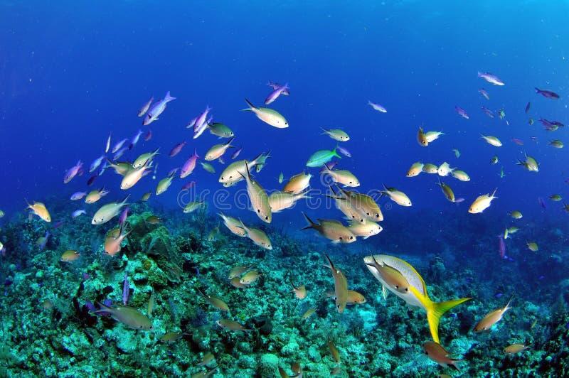 Wrasse креола на рифе стоковое фото