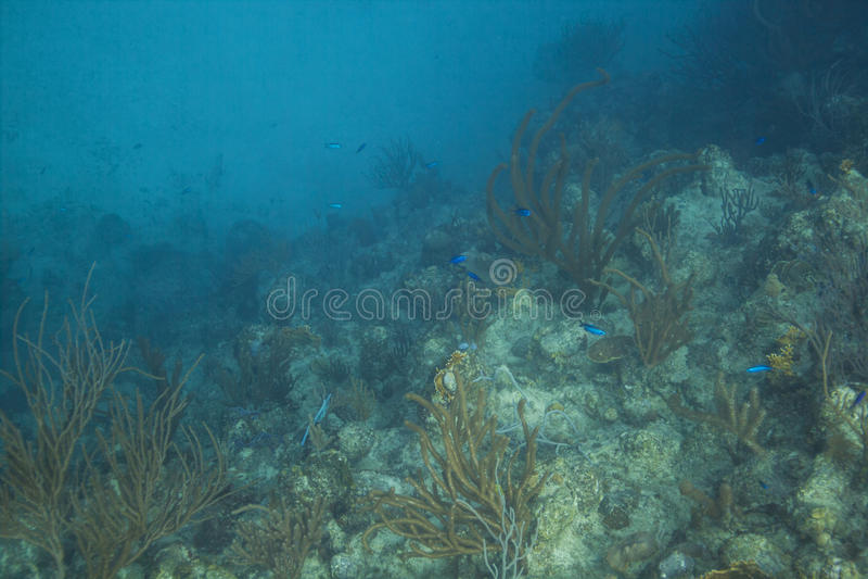 Wrasse креола в рифе стоковое фото rf