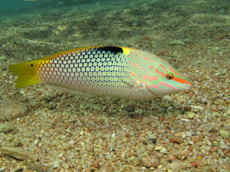 Wrasse imagens de stock royalty free