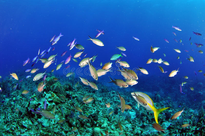 Wrasse crioulo no recife foto de stock