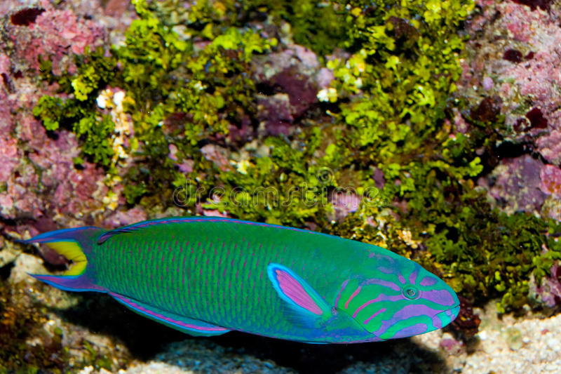 Wrasse de Lyretail na frente da paisagem coral imagem de stock