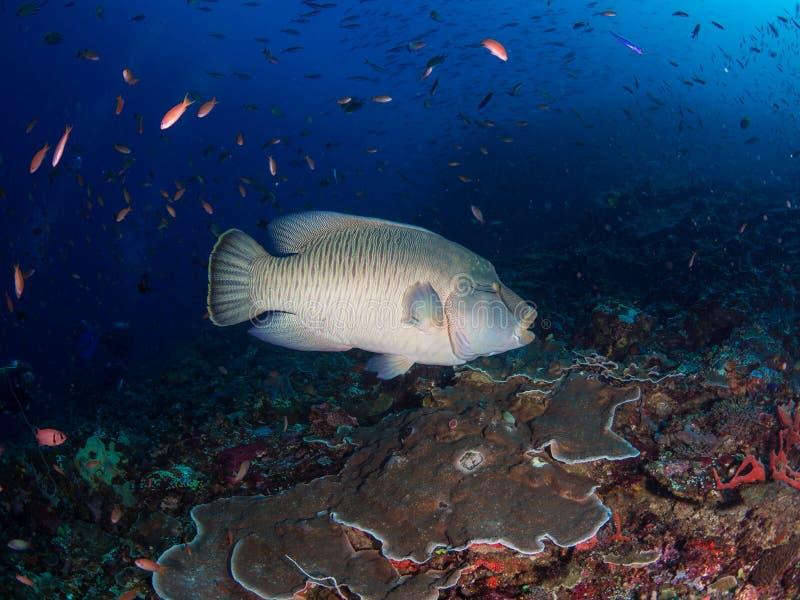 Wrasse enorme de Napoleon no recife de Batu Bolong fotografia de stock