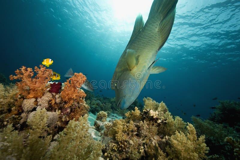 wrasse för cheilinusnapoleon undulatus fotografering för bildbyråer