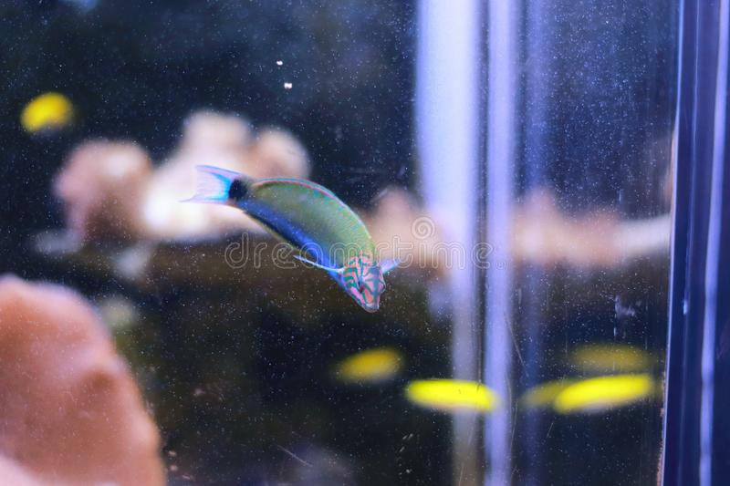 Wrasse fish. The wrasses are a family, Labridae, of marine fish, many of which are brightly colored. The family is large and diverse, with over 600 species in 82 stock images