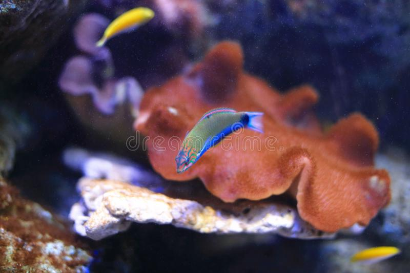 Wrasse fish. The wrasses are a family, Labridae, of marine fish, many of which are brightly colored. The family is large and diverse, with over 600 species in 82 stock photo