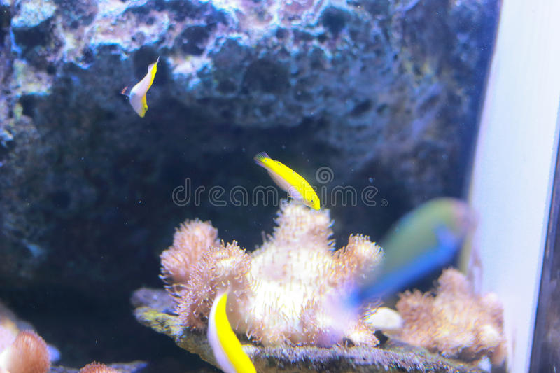 Wrasse fish. The wrasses are a family, Labridae, of marine fish, many of which are brightly colored. The family is large and diverse, with over 600 species in 82 stock image