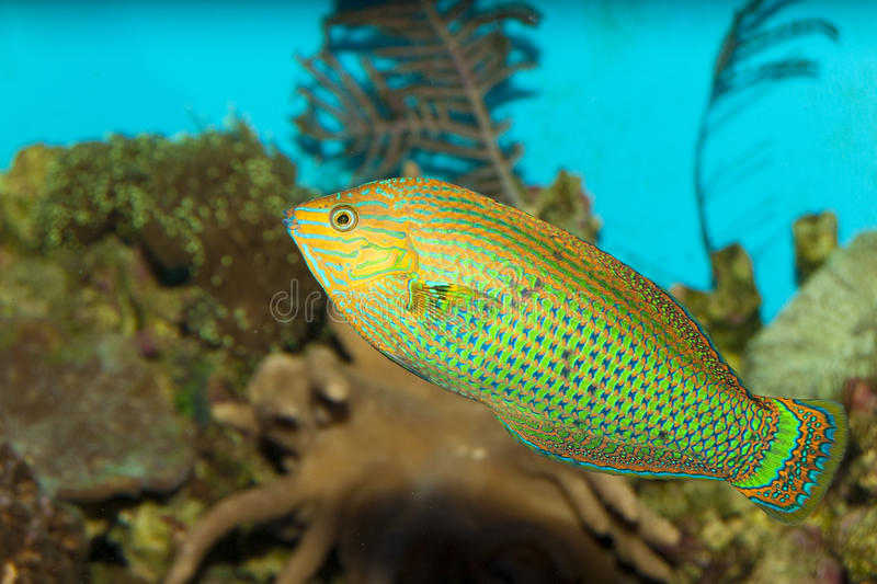 Wrasse sombre dans l'aquarium photos stock