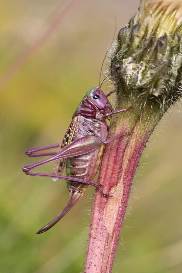 Wrattenbijter,疣骗子, Decticus verrucivorus 免版税库存图片
