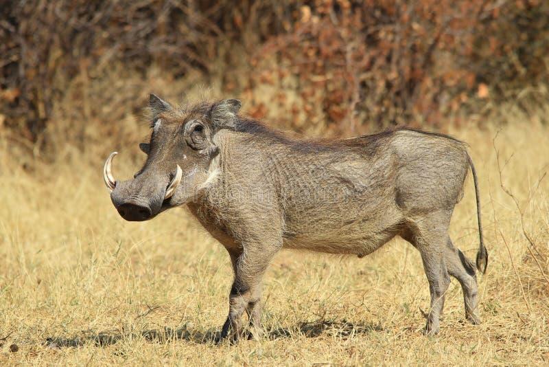 Wrattenzwijn - Afrikaanse het Wildachtergrond - Stellende Trots en Macht stock fotografie