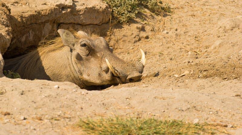 Wrattenzwijn bij zijn zoet huis royalty-vrije stock fotografie