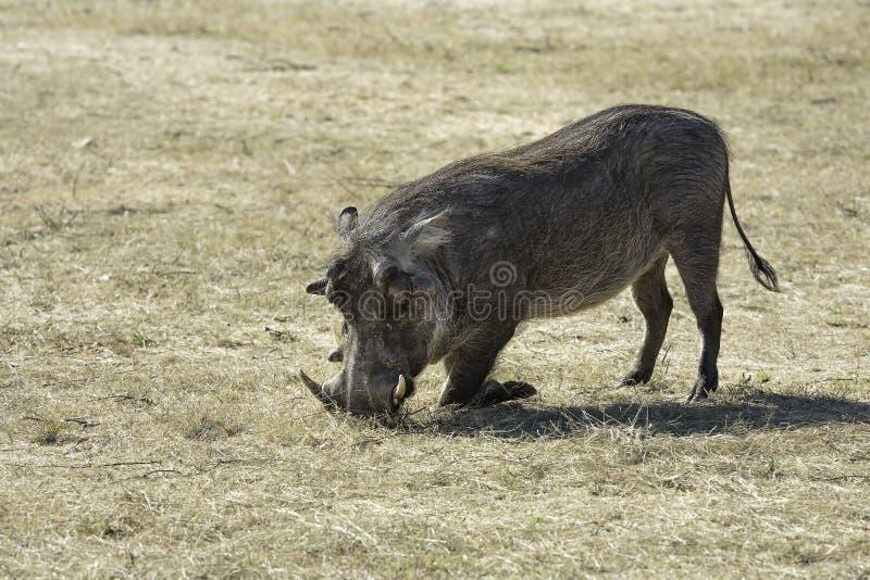 Wrattenzwijn die in het gras knielen stock fotografie