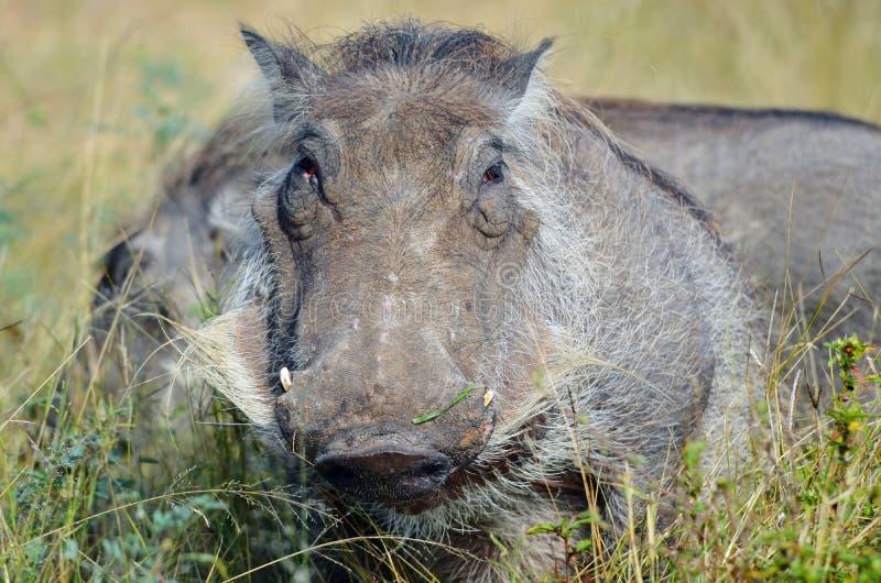 Wrattenzwijn (Phacochoerus-africanus) stock foto's