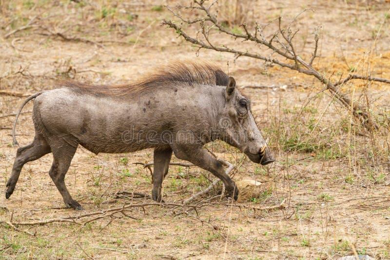 Wrattenzwijn ( Phacochoerus africanus) , genomen in Zuid-Afrika royalty-vrije stock fotografie