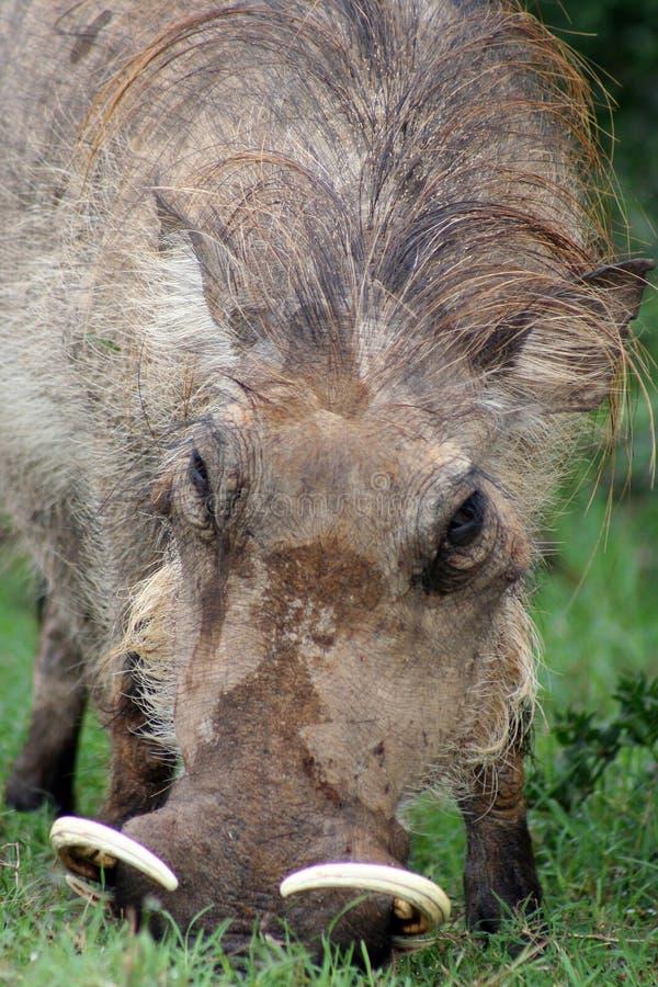 Wrattenzwijn, portret stock foto