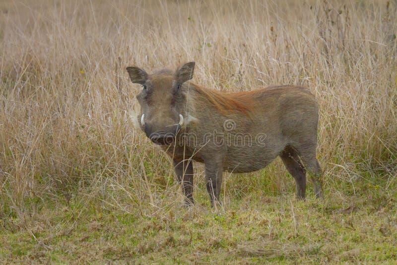 Wrattenzwijn in Tala Private Game Reserve in Zuid-Afrika wordt gefotografeerd dat stock fotografie