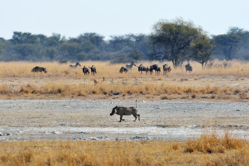 Wrattenzwijn, wildebeests en zebras, Khama-Rinocerosheiligdom, Botswana royalty-vrije stock afbeeldingen