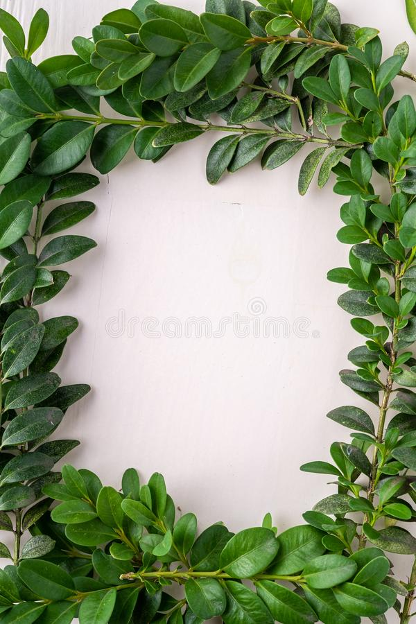 Wreath square frame of Buxus sempervirens green leaf leaves branches white wooden background copy space template top view overhead stock image